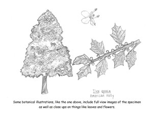 Coloring Book- American Holly Botanical Illustration